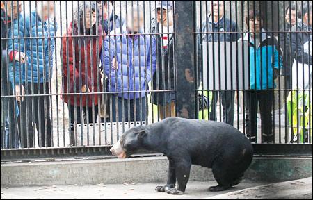 Seekor beruang madu asal malaysia di kebun binatang seoul di